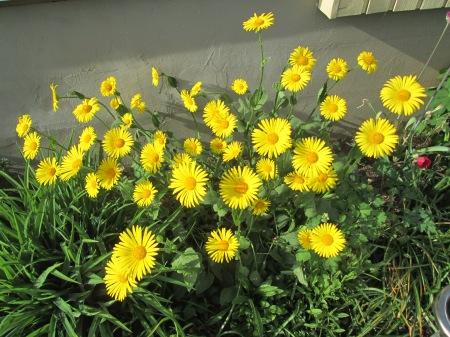 Doronicum orientale, 15.05.16