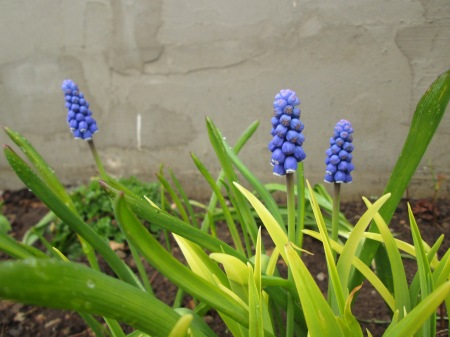 Muscari aucheri, 17.04.16