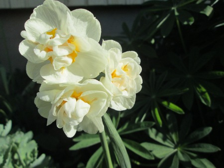 Narcissus 'Bridal Crown' päikeses, 10.05.15